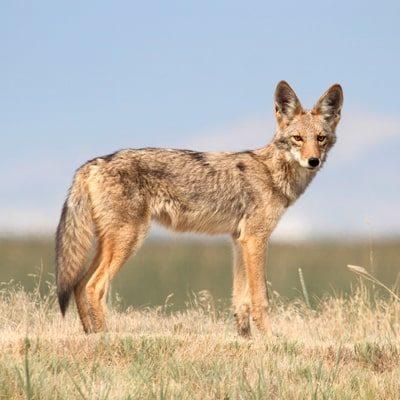 marauder coyote fencing