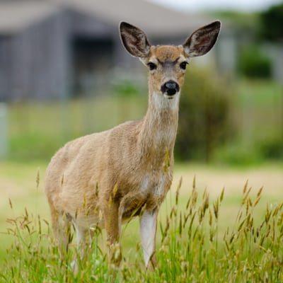 marauder deer fencing
