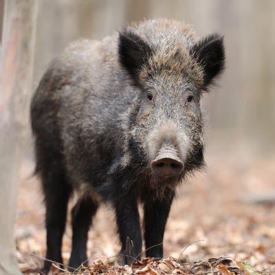 marauder feral swine fencing