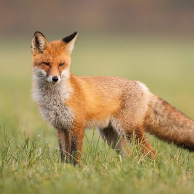 marauder fox fencing