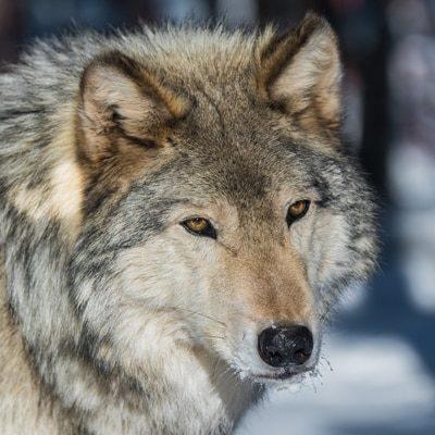 marauder wolf fencing