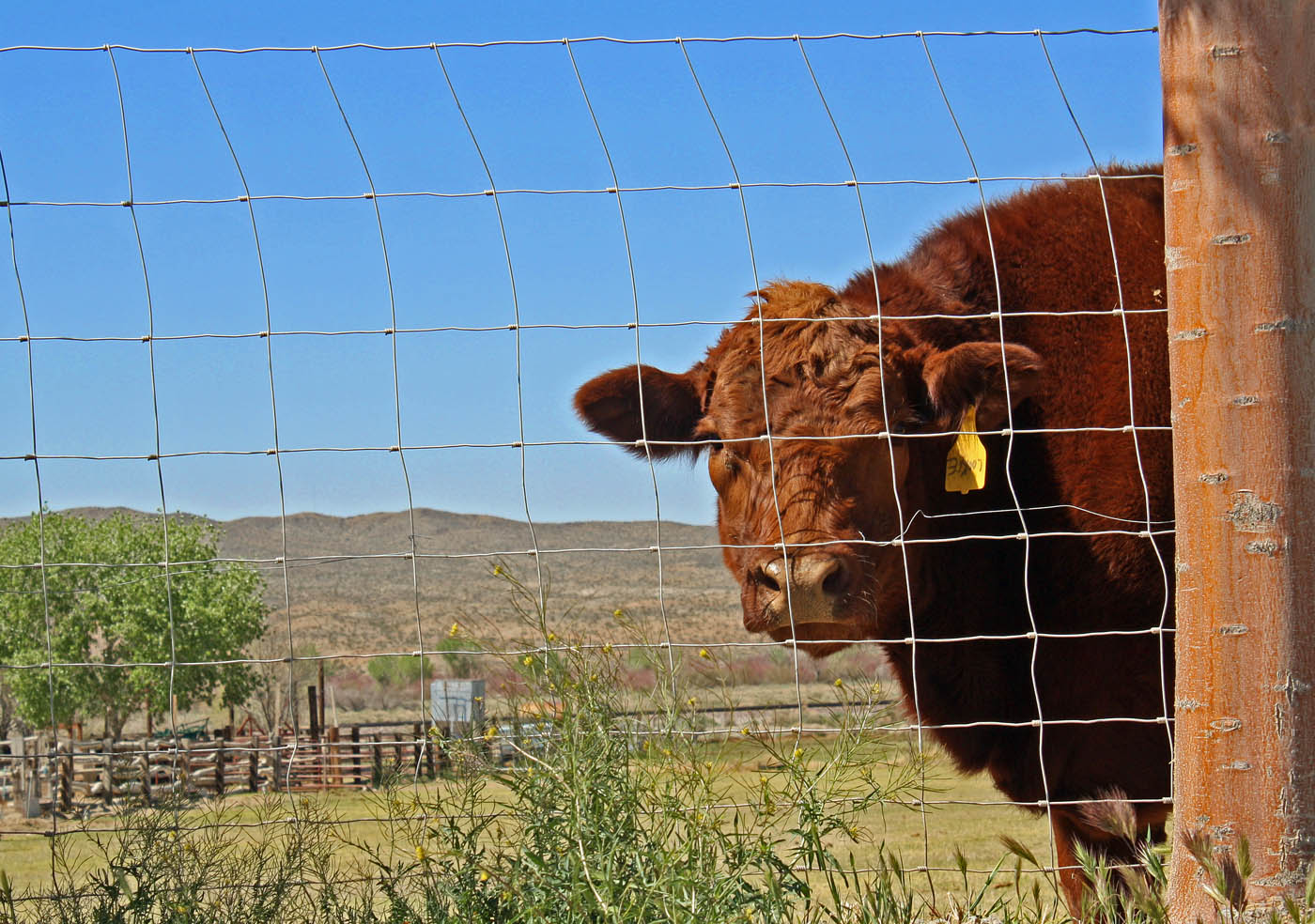 hinged joint fence cow